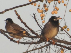 White-cheekedStarling121714CraneFarm